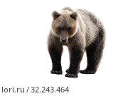 Дикий бурый медведь, изолированный на белом фоне. Стоковое фото, фотограф А. А. Пирагис / Фотобанк Лори