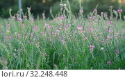 Купить «Beautiful wild heather in the meadow», видеоролик № 32248448, снято 20 августа 2019 г. (c) Володина Ольга / Фотобанк Лори