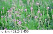 Купить «Beautiful wild heather in the meadow», видеоролик № 32248456, снято 22 августа 2019 г. (c) Володина Ольга / Фотобанк Лори