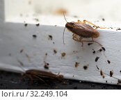 A lot of cockroaches are sitting on a white wooden shelf.The German cockroach (Blattella germanica). Cockroach Infestation. Стоковое фото, фотограф Ирина Кожемякина / Фотобанк Лори