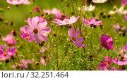 Купить «The Beautiful large pink daisies outdoors», видеоролик № 32251464, снято 30 июля 2019 г. (c) Володина Ольга / Фотобанк Лори