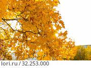 Осенний клён. Стоковое фото, фотограф Кристина Викулова / Фотобанк Лори