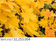Кленовые листья. Стоковое фото, фотограф Кристина Викулова / Фотобанк Лори
