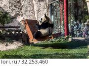Большая панда качается на качелях и ест бамбук в зоопарке (2019 год). Редакционное фото, фотограф Наталья Волкова / Фотобанк Лори