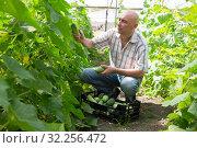 Купить «Man professional gardener picking cucumbers to crate», фото № 32256472, снято 16 декабря 2019 г. (c) Яков Филимонов / Фотобанк Лори