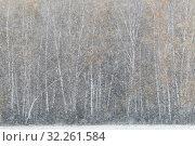 Купить «Стволы берёз и первый снегопад осенью», эксклюзивное фото № 32261584, снято 6 октября 2019 г. (c) Дмитрий Неумоин / Фотобанк Лори