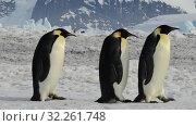 Emperor Penguins at Snow Hill Antarctica 2018. Стоковое видео, видеограф Vladimir / Фотобанк Лори