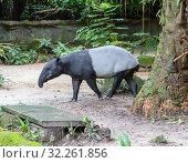 Тапир. Malayan tapir. Стоковое фото, фотограф Галина Савина / Фотобанк Лори