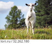 Купить «Goat grazing in the field. Portrait of hornless goat», фото № 32262180, снято 19 октября 2019 г. (c) Ирина Козорог / Фотобанк Лори