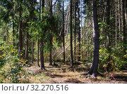Купить «Пейзаж с осенним хвойным лесом», фото № 32270516, снято 14 сентября 2018 г. (c) Елена Коромыслова / Фотобанк Лори