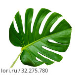 Купить «большой зеленый лист монстеры на белом фоне», фото № 32275780, снято 13 сентября 2019 г. (c) Tamara Kulikova / Фотобанк Лори