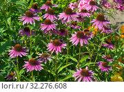 Купить «Эхинацея пурпурная (лат. Echinacea purpurea) цветет в саду», фото № 32276608, снято 7 августа 2019 г. (c) Елена Коромыслова / Фотобанк Лори