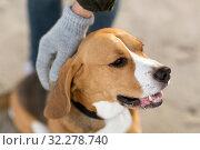 Купить «close up of owner's hand hand stroking beagle dog», фото № 32278740, снято 29 сентября 2018 г. (c) Syda Productions / Фотобанк Лори