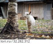 Купить «Little white goat. Portrait of an agricultural animal», фото № 32282312, снято 19 октября 2019 г. (c) Ирина Козорог / Фотобанк Лори