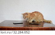 Купить «A beautiful ginger cat lies on table next to two cell phones», видеоролик № 32284052, снято 25 августа 2019 г. (c) Володина Ольга / Фотобанк Лори