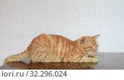 Купить «An Adult cat lies on the table», видеоролик № 32296024, снято 25 августа 2019 г. (c) Володина Ольга / Фотобанк Лори