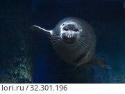 Купить «Нерпа обыкновенная, тюлень пятнистый (Phoca vitulina Linnaeus) в морской глубине», фото № 32301196, снято 18 февраля 2019 г. (c) Татьяна Белова / Фотобанк Лори