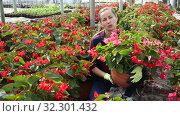 Купить «Young female florist arranging potted plants of flowering red begonias while gardening in glasshouse», видеоролик № 32301432, снято 3 июня 2019 г. (c) Яков Филимонов / Фотобанк Лори
