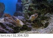 Мурена дракон среди камней кораллового рифа Enchelycore pardalis. Стоковое фото, фотограф Татьяна Белова / Фотобанк Лори