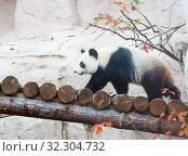 Большая панда (белая панда) Стоковое фото, фотограф Галина Савина / Фотобанк Лори