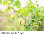 Купить «Ripe gooseberries grow on a branch. Gooseberry bush lit by sunlight», фото № 32307724, снято 12 июля 2019 г. (c) Юлия Бабкина / Фотобанк Лори