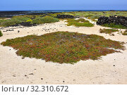 Alkali seepweed or shrubby sea-blite (Suaeda vera) is an halophyte succulent plant native to saline soils of Mediterranean Basin and Canary Islands. This... Стоковое фото, фотограф J M Barres / age Fotostock / Фотобанк Лори