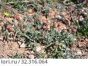 Palomita (Platycapnos spicata) is an annual herb native to Iberian Peninsula. This photo was taken in Bellmunt de Segarra, Lleida province, Catalonia, Spain. Стоковое фото, фотограф J M Barres / age Fotostock / Фотобанк Лори