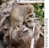 Полосатый мангуст. Banded mongoose. Стоковое фото, фотограф Галина Савина / Фотобанк Лори