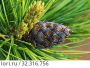 Купить «Cones of evergreen dwarf Siberian pine. Close-up natural floral background», фото № 32316756, снято 10 июня 2019 г. (c) А. А. Пирагис / Фотобанк Лори