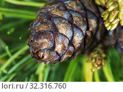 Купить «Cone of Japanese Stone Pine. Closeup natural floral background», фото № 32316760, снято 10 июня 2019 г. (c) А. А. Пирагис / Фотобанк Лори