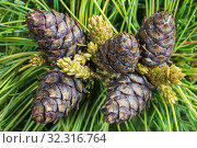 Купить «Five cones of evergreen Siberian dwarf pine. Closeup natural floral background», фото № 32316764, снято 10 июня 2019 г. (c) А. А. Пирагис / Фотобанк Лори