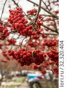 Купить «Красная рябина на фоне осеннего городского пейзажа . Концепция осеннего времени года .», фото № 32320404, снято 10 февраля 2020 г. (c) Сергеев Валерий / Фотобанк Лори