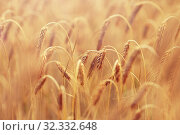 Купить «cereal field with spikelets of ripe rye or wheat», фото № 32332648, снято 31 июля 2016 г. (c) Syda Productions / Фотобанк Лори