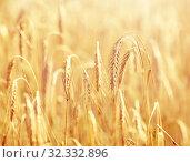 Купить «cereal field with spikelets of ripe rye or wheat», фото № 32332896, снято 31 июля 2016 г. (c) Syda Productions / Фотобанк Лори