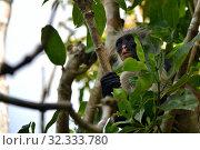 Купить «Zanzibar red colobus in Jozani forest. Tanzania, Africa», фото № 32333780, снято 6 октября 2019 г. (c) Знаменский Олег / Фотобанк Лори