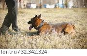 Купить «A german shepherd dog rolling over on a trainer's command», видеоролик № 32342324, снято 23 февраля 2020 г. (c) Константин Шишкин / Фотобанк Лори