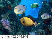 Купить «Красочные тропические рыбы  в морском аквариуме», фото № 32346944, снято 22 марта 2019 г. (c) Татьяна Белова / Фотобанк Лори