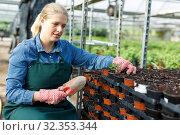 Купить «Positive young woman gardener seeding peppermint seedlings in pot at greenhouse», фото № 32353344, снято 3 октября 2018 г. (c) Яков Филимонов / Фотобанк Лори