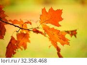 Купить «Пожелтевшие дубовые листья в парке», фото № 32358468, снято 29 октября 2019 г. (c) Марина Володько / Фотобанк Лори