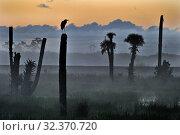 Купить «Great Blue Heron Ardea herodias silhouetted at dawn at Viera Wetlands Florida USA.», фото № 32370720, снято 27 февраля 2020 г. (c) age Fotostock / Фотобанк Лори