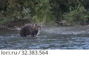 Купить «Hungry Kamchatka brown bear standing in water and fishing red salmon fish», видеоролик № 32383564, снято 5 ноября 2019 г. (c) А. А. Пирагис / Фотобанк Лори