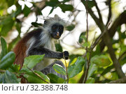 Купить «Zanzibar red colobus in Jozani forest. Tanzania, Africa», фото № 32388748, снято 6 октября 2019 г. (c) Знаменский Олег / Фотобанк Лори