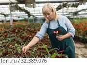 Купить «Mature woman gardening begonia flowers indoors in greenhouse», фото № 32389076, снято 20 августа 2018 г. (c) Яков Филимонов / Фотобанк Лори
