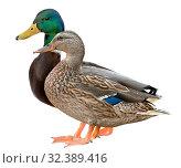 Mallard Duck Closeup of a drake, Female Mallard. isolated on white background. Стоковое фото, фотограф Наталья Аксёнова / Фотобанк Лори