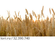 Купить «cereal field with ripe wheat spikelets», фото № 32390740, снято 26 июля 2019 г. (c) Syda Productions / Фотобанк Лори