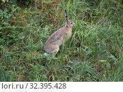 Купить «Заяц в траве ранним утром», фото № 32395428, снято 21 июля 2018 г. (c) Виктор Карасев / Фотобанк Лори