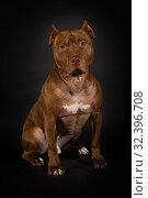 Купить «American Pit Bull Terrier dog sitting over black», фото № 32396708, снято 30 октября 2019 г. (c) Алексей Кузнецов / Фотобанк Лори