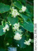 Купить «Linden tree flowers among leaves close up», фото № 32398588, снято 16 июня 2019 г. (c) Короленко Елена / Фотобанк Лори