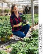 Купить «Female owner of greenhouse cultivating tomatoes», фото № 32398932, снято 7 декабря 2019 г. (c) Яков Филимонов / Фотобанк Лори