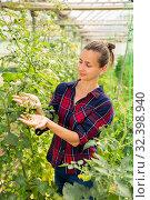 Купить «Female owner of greenhouse examining harvest of tomatoes», фото № 32398940, снято 7 декабря 2019 г. (c) Яков Филимонов / Фотобанк Лори